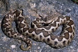 Δηλητηριώδες φίδι (οχιά)