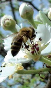 Αγρια Μέλισσα