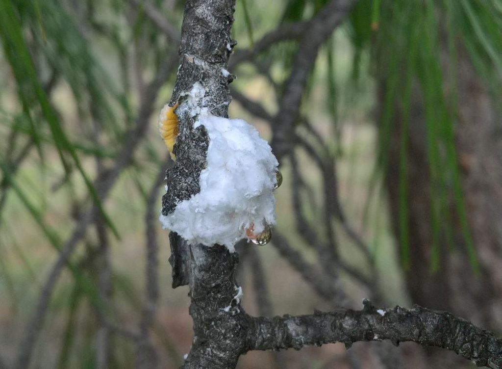 Σταγόνα ανοιξιάτικου μελιτώματος Πεύκου - Δ. Τσέλιος ΜΕΛΙΣΣΟΚΟΜΙΚΗ ΕΠΙΘΕΩΡΗΣΗ