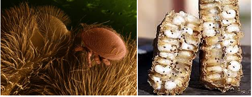 Το χλωριούχο λίθιο έχει υψηλή αποτελεσματικότητα ενάντια στις βαρρόα που παρασιτούν στις μέλισσες, δεν γνωρίζουμε όμως αν ισχύει το ίδιο και γι' αυτές που βρίσκονται στο σφραγισμένο γόνο.