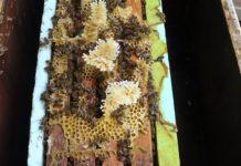 Άσπρο κερί κάτω από το ζυμάρι σημαίνει υγεία του μελισσιού και ποιότητα τροφής