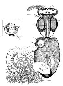 Το πεπτικό σύστημα της μέλισσας. Ο προστόμαχος μεταξύ του κοινωνικού και του κιρίως στομάχου