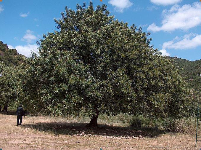 Εικ. 3. Δένδρο χαρουπιάς