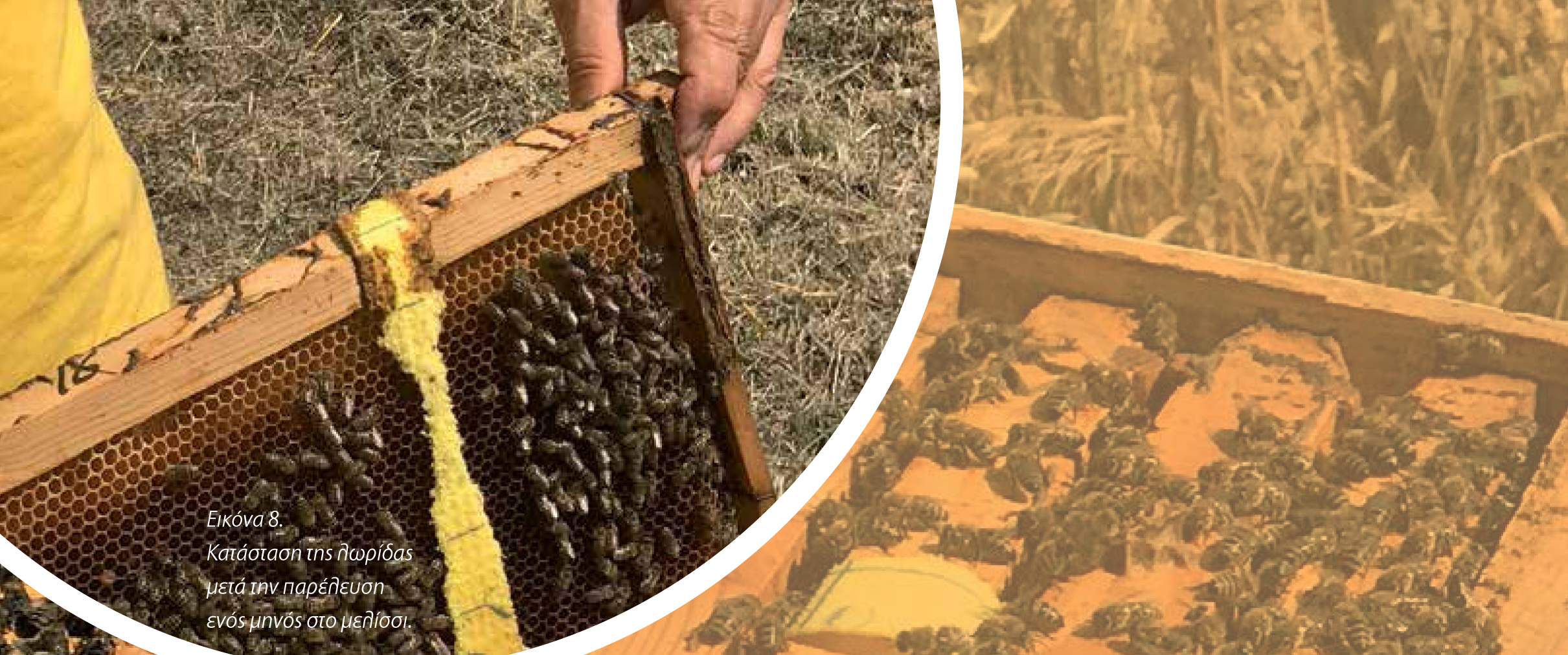 Εικ. 8, Κατάσταση της λωρίδας μετά την παρέλευση ενός μηνός στο μελίσσι