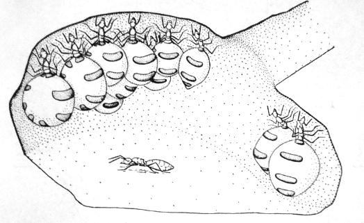 Σχ. 3. Υπερτροφοδοτημένες εργάτριες του είδους Myrmeco cystus melliger