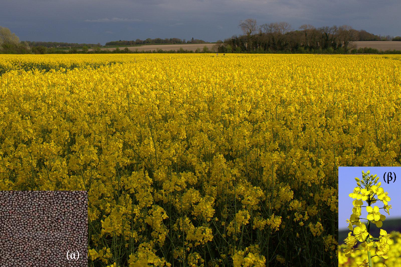 Εικόνα 1:Καλλιέργεια ελαιοκράμβης (α) σπόροι, (β) άνθη