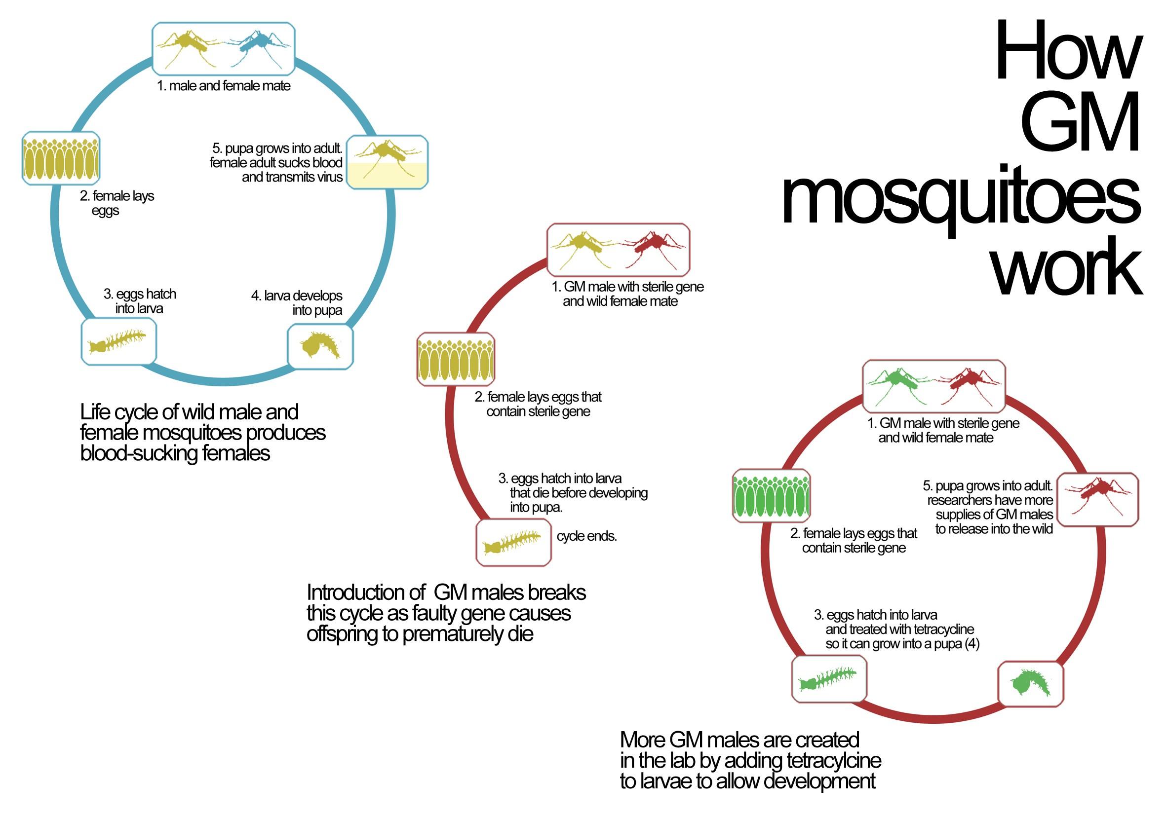 Σχ.1: Παραγωγή στείρων αρσενικών κουνουπιών, με τη χρήση αντιβιοτικών
