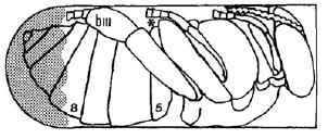 Εικόνα 4. Σχηματική παράσταση της τοπογραφίας του σημείου (*) του σώματος της χρυσαλίδας της μέλισσας, στο οποίο η μητρική βαρρόα διανοίγει την πληγή, από την οποία εκρρέει η αιμολέμφος του ξενιστή