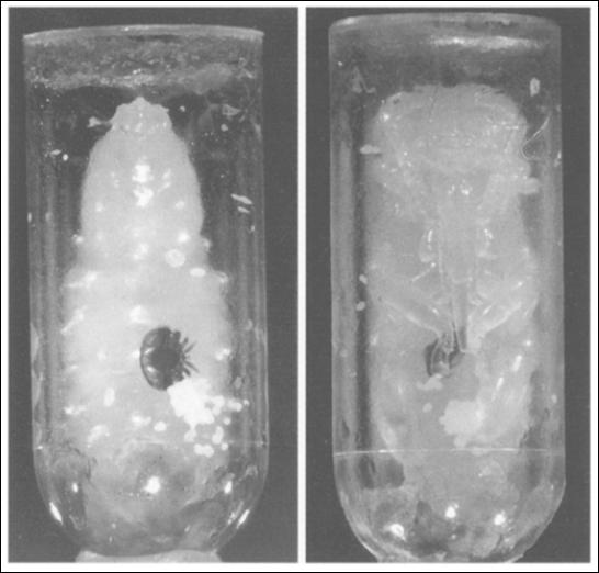 Εικόνα 3. Ακμαία βαρρόα που παρασιτεί σε αναπτυσσόμενη μέλισσα σε τεχνητό διάφανο κελί. α) σε προχρυσαλίδα, β) σε χρυσαλίδα. Οι λευκοί σωροί είναι τα περιττώματα του παρασίτου.