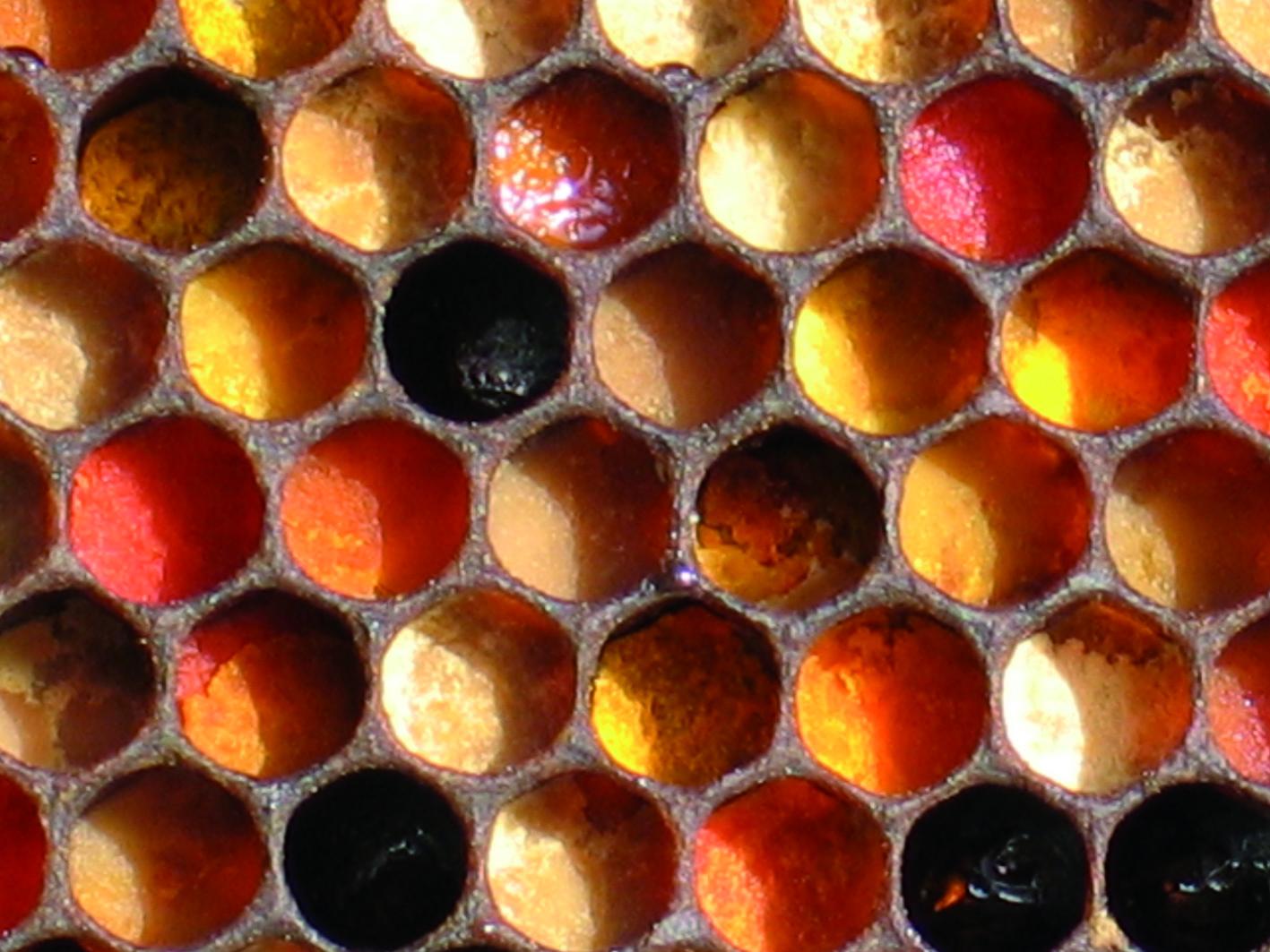 Εικόνα 1. Γύρη σε κελιά (μελισόψωμο) εφεδρεία πρωτεΐνης για την εκτροφή του γόνου.