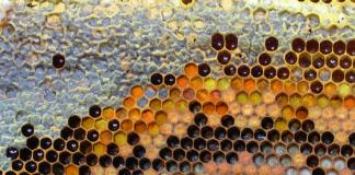 Εικόνα 2. Οι μέλισσες συχνά αποθηκεύουν τη γύρη δίπλα στο γόνο που εκτρέφουν.