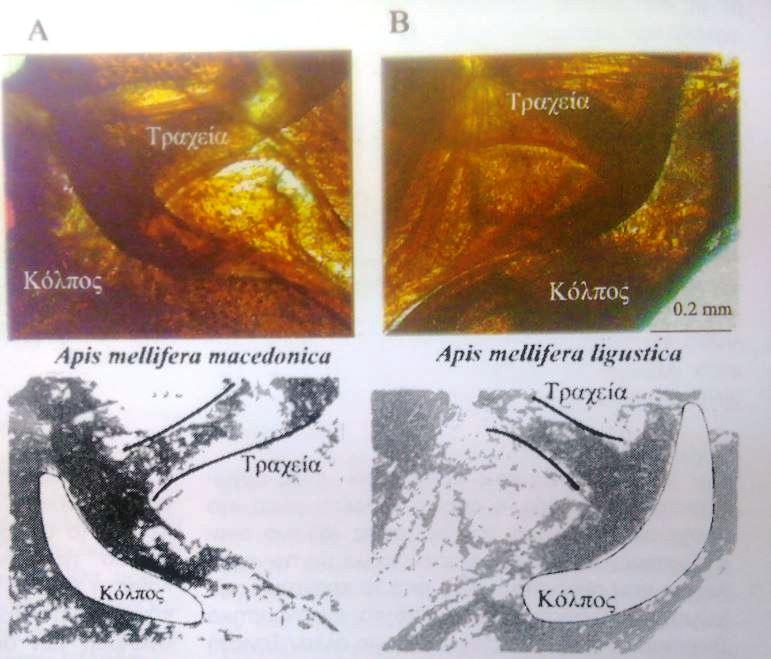 Εικ. 2: Ο κόλπος που σχηματίζεται εμπρός από το άνοιγμα του πρώτου αναπνευστικού στίγματος της Apis mellifera macedonica (A) και ligustica (Β). Με ειδικό φίλτρο ηλεκτρονικού υπολογιστή έχουν γίνει τα επεξηγηματικά διαγράμματα (κάτω μέρος της εικόνας).